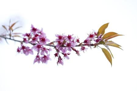 Doi Inthanon National Park Sakura Thailand. Stock Photo - 10779395