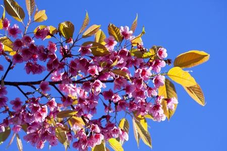 Doi Inthanon National Park Sakura Thailand. Stock Photo - 10779405