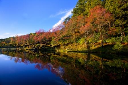 Doi Inthanon National Park Sakura Thailand. Stock Photo - 10779400