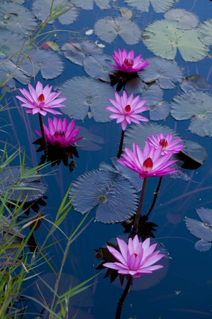 purple water lily on the lake Stock Photo - 13410275