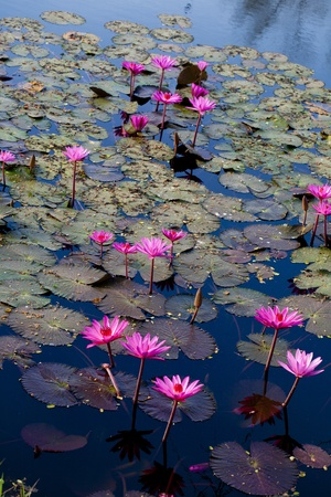 lily pad: pink water lily in pond