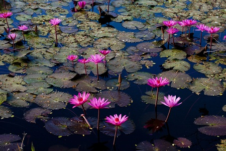 pink water lily in pond photo