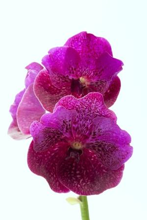 vanda: Vanda orchids Black and white background