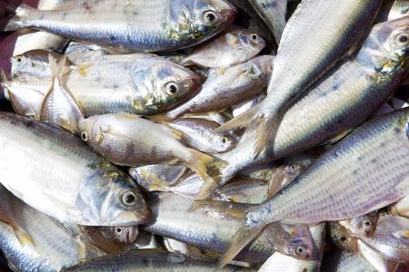 bluefin four tuna fish Thunnus thynnus catch in a row