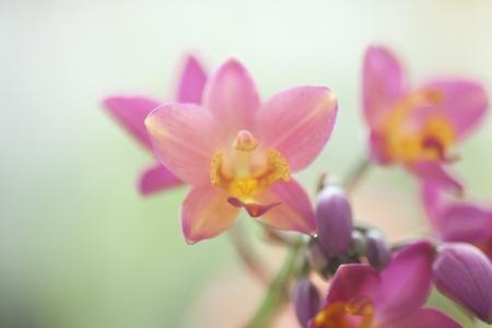 Ground orchid; Spathoglottis ; Acanthephippium, Bletia, Calanthe,  Phaius