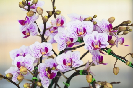 Phalaenopsis orchid  Stock Photo - 21169076