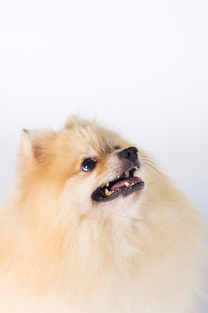 hits: Pomeranian show champion dog, on white background Stock Photo