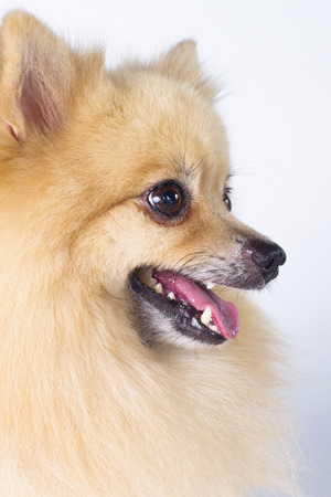 tunable: Pomeranian show champion dog, on white background Stock Photo