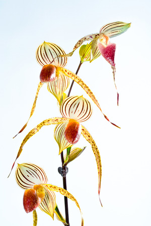 isabel: Paphiopedilum Lady Isabel flower