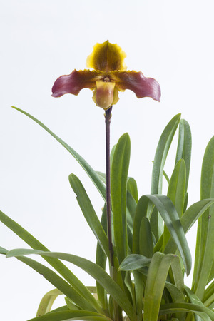 paphiopedilum: Paphiopedilum hirsutissimum is a species of orchid ranging from Assam to southern China.