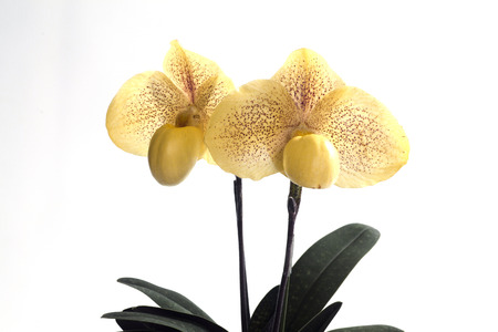 paphiopedilum: Paphiopedilum malipoense is a species of orchid commonly known as the Jade Slipper Orchid.