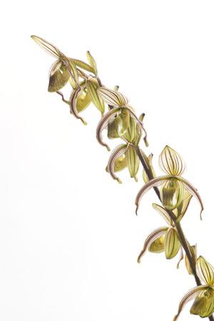 paphiopedilum: Paphiopedilum randsii Fowlie 1969,Common Name Rands