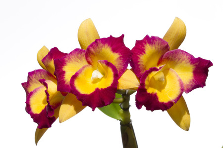 Cattleya labiata also known as the Ruby Lipped Cattleya.