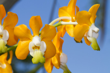 indochina: Vanda denisoniana is a species of orchid found from China (Yunnan) to northern Indochina. Stock Photo