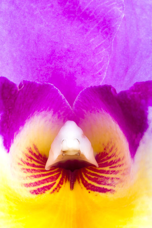A close-up view of the inside of a colorful cattleya orchid photo
