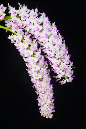 pink orchid flowers isolated on white backgroun