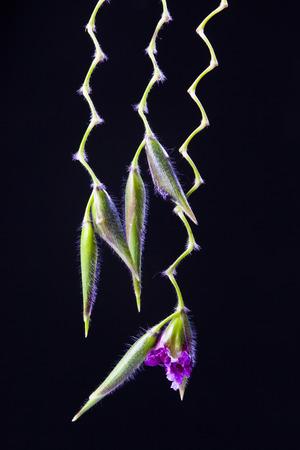 lose up: lose up of Thalia dealbata J.fraser. flower