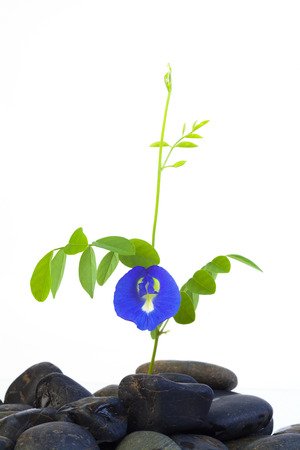 pea shrub: Butterfly pea or Anchan flowersClitoria ternatea L. on white background.