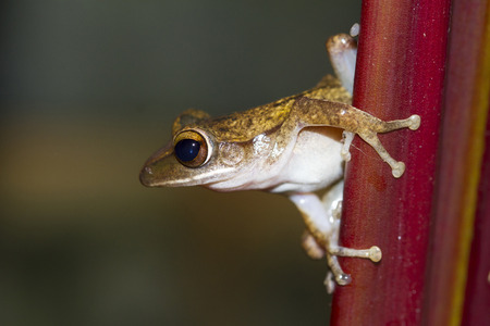 arboreal frog: Rana posado en un �rbol listo para saltar.