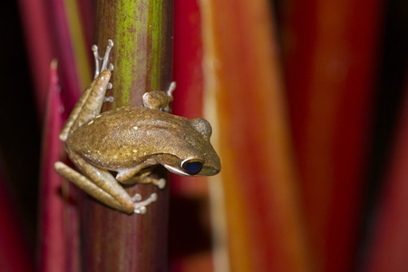 gaudy: Frog perched on a tree ready to jump.