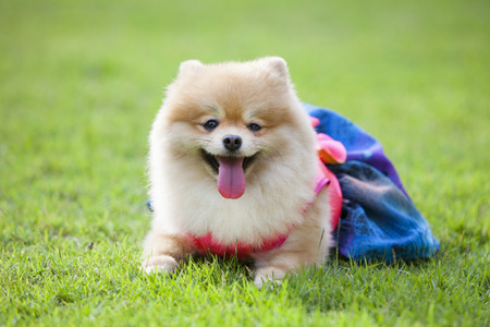 Pomeranian dog on the lawn it wear clothes for dog and clothes of pom has ping and blue color. Stock fotó