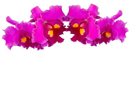 cattleya: Cattleya orchid pink flower on a white background.