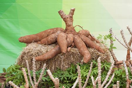 raíz de planta: Tapioca plantas de yuca, de la yuca en el suelo Foto de archivo