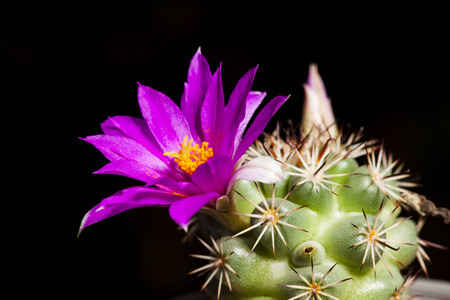 Red beautiful cactus flowers bloom on isolate black background.