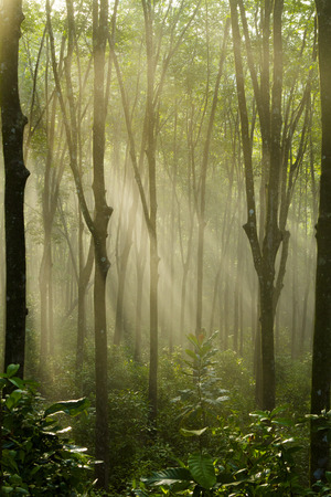 Enchanting Forest Lane in a Rubber Tree Plantation Concept. tree plantation in the morning sun.