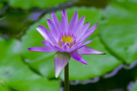 The Purple lotus flower blooming at summer.