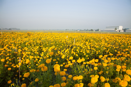 Marigold field in the morning at Thailand. Stock Photo