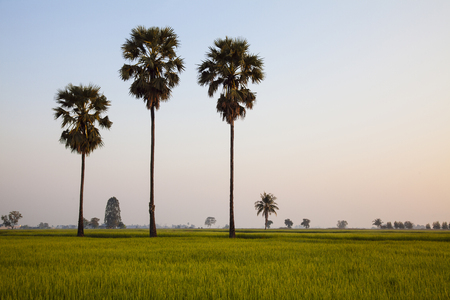 A coconut trees and a green confield in the evening.