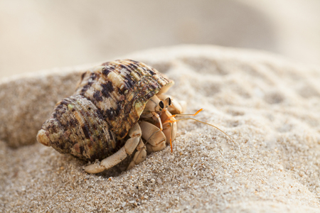 Small hermit crab on the tropical island sand. Copy space,close up; Hermit crab on tropical beach