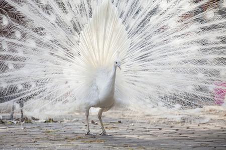 Ritratto Di Pavone Bianco Durante Il Display Di Corteggiamento, Il ...