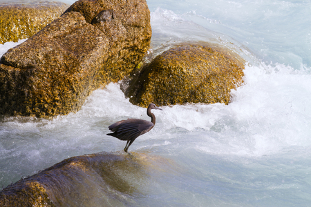 Pacific Reef Egret on the rock seaside aisia beach, black pacific reef egret looking for fish at beach rock.