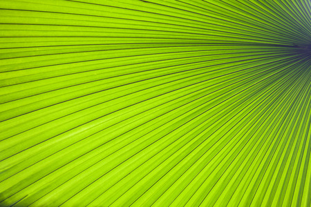 Abstract image of green palm leaf for background.Texture of Green palm Leaf Stock Photo