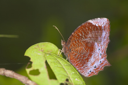reside: Rainforest Blue Morpho Butterfly , is one of over eighty described species of butterflies that reside in the rainforests. Morpho butterflies are neotropical butterflies. Stock Photo