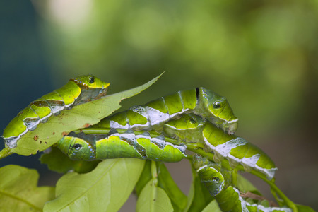 A group of Moth Caterpillars on leaf. Agriculture pest caterpillar icon. Macro of caterpillars on nature background. Stock Photo