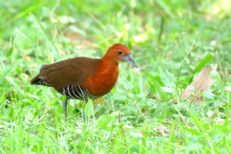 The slaty-legged crake or banded crake (Rallina eurizonoides) is a waterbird in the rail and crake family.