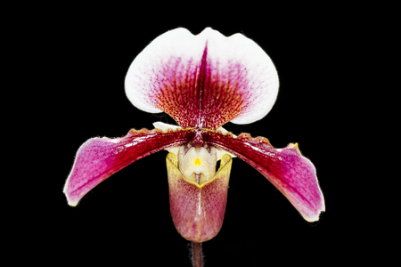 flower in tropical garden, Chiang Mai, Thailand. Orchids Floral background. Paphiopedilum, often called the Venus slipper, is a genus of the Lady slipper