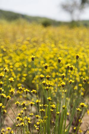 Xyris yellow flowers or Xyridaceae wild flower in Thailand vintage
