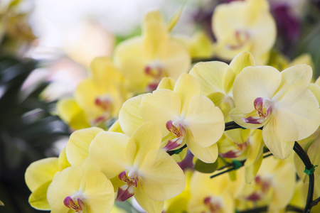 Phalaenopsis orchids flowers in bloom in adorn the beauty of nature. Stock Photo