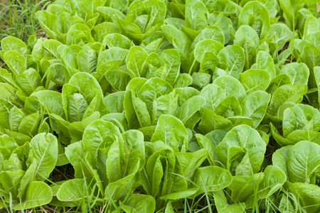 Fresh butterhead salad lettuce in Organic Fram