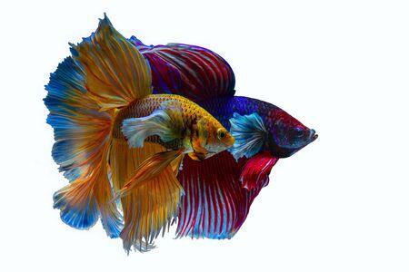 Multi color Siamese fighting fish(Rosetail)(half moon),fighting fish,Betta splendens,on black background