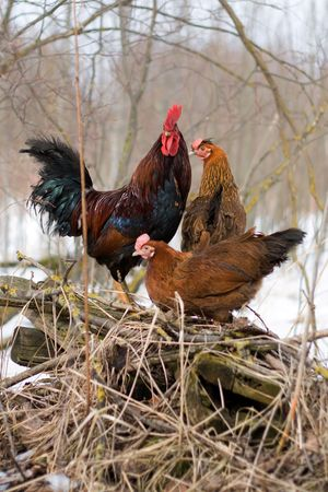 bantam hen: cock and his family in farmland