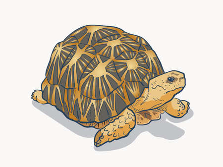 vector illustration of Radiated tortoise isolated on white background