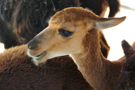 inquisitively: As mammal belonging to the camel family.