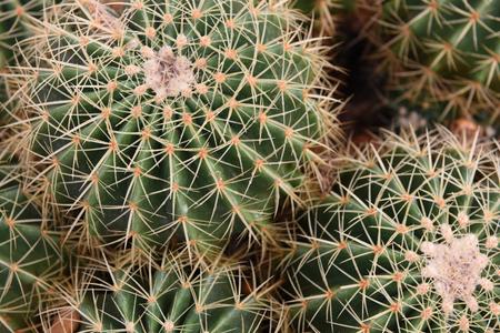 ailment: Close up Cactus in Garden.