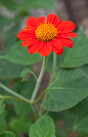 Bright red daisy against contrasting green leaves photo