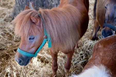 Dwarf horse in the Festival. photo